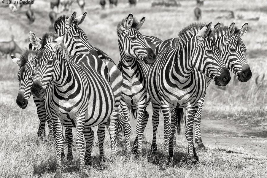 zebras masai mara quênia