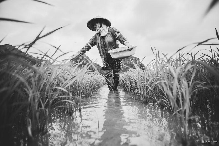 colheita arroz arrozal vietnã