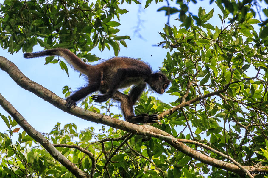 macaco aranha guatemala