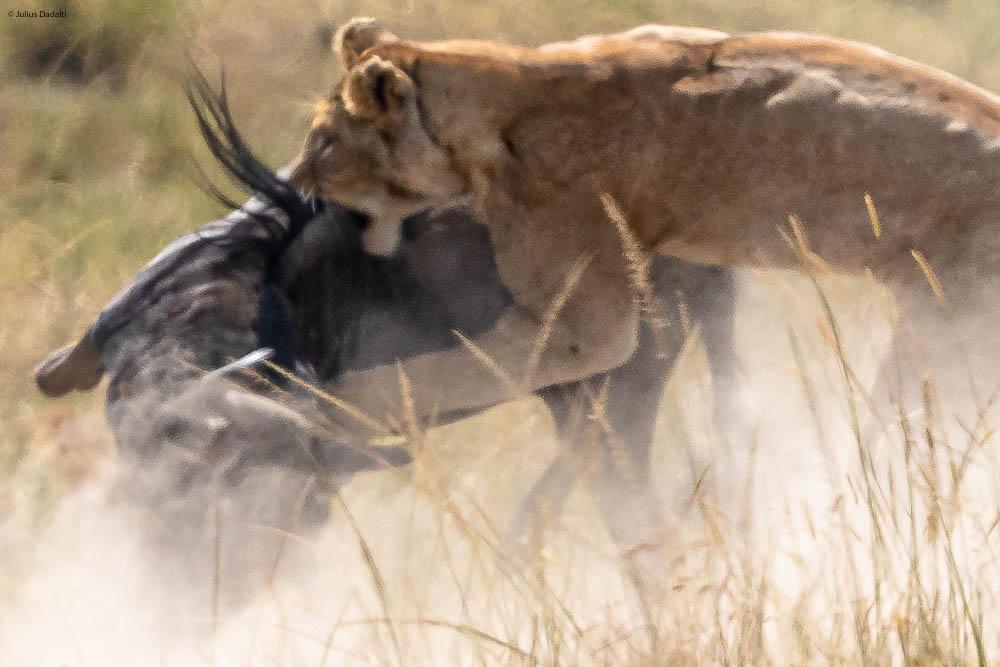 leoa caçando gnu no quênia
