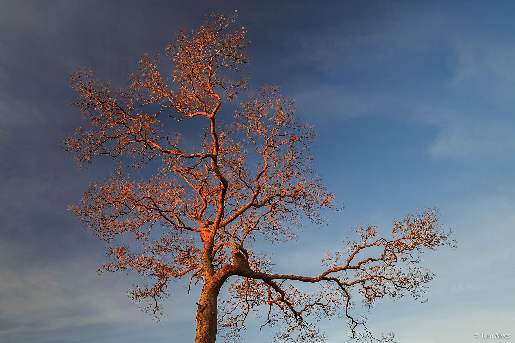 árvore seca-cerrado-mg