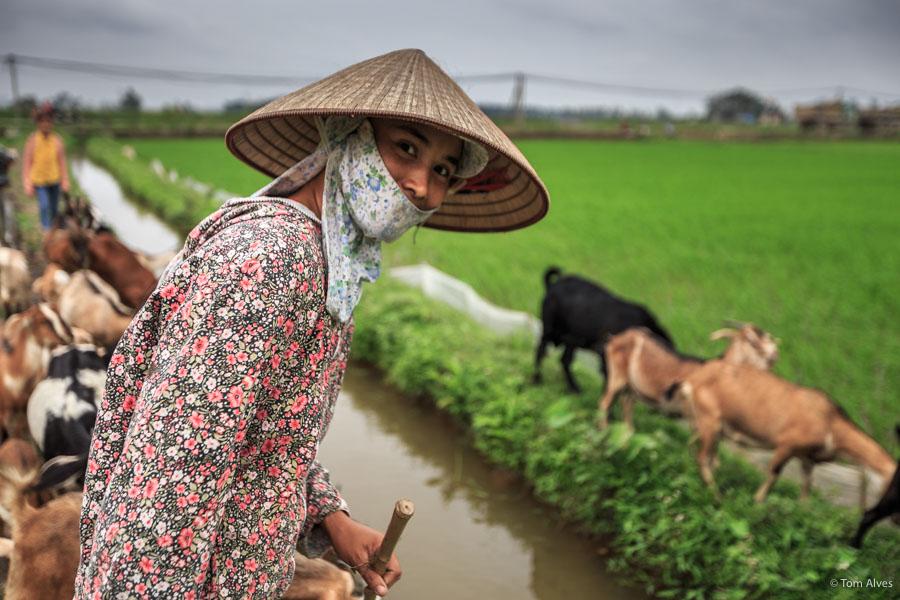 ninh binh camponesa cabras arrozal