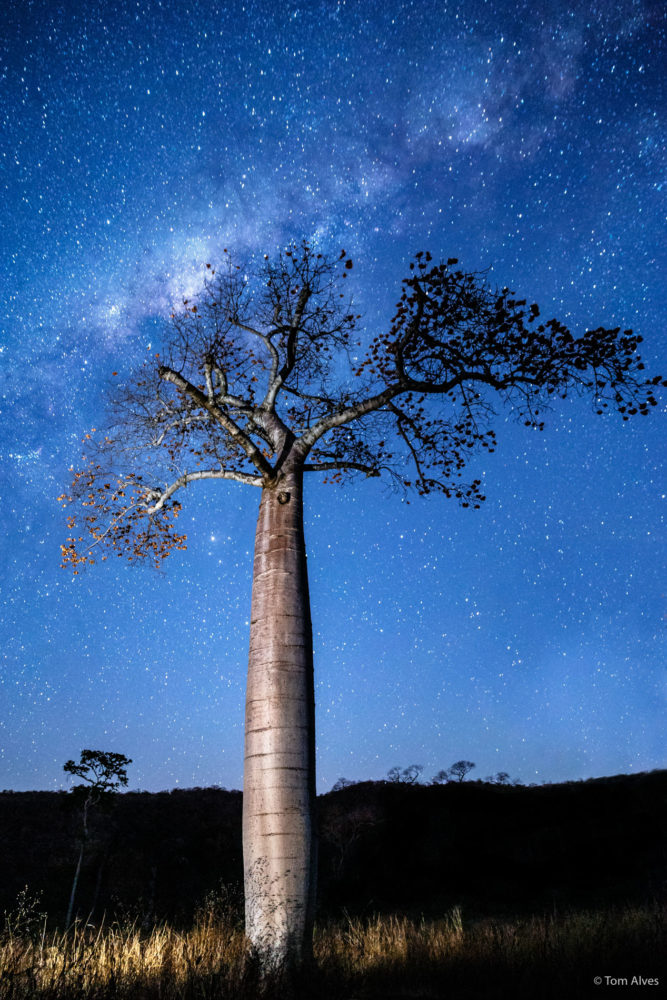 árvore barriguda peruaçu