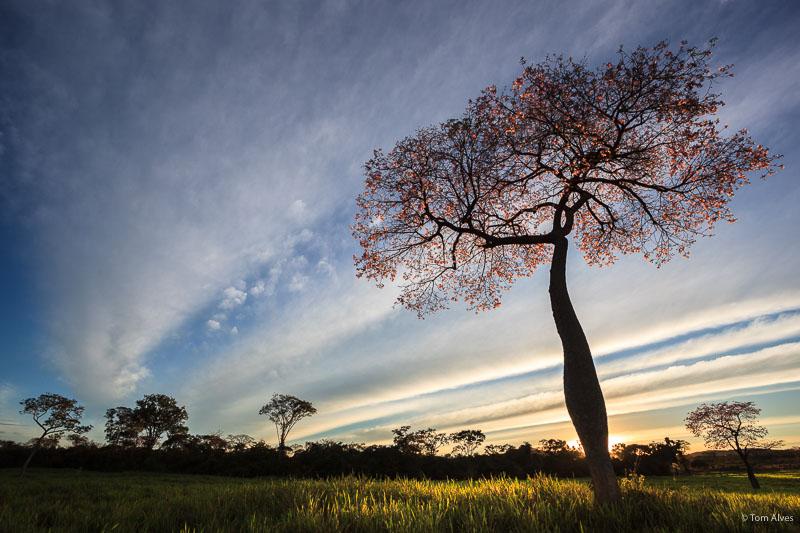 árvore januária MG Peruaçu